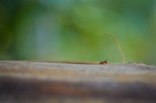 A little Red Ant Climbing Wood in Bohinj, Slovenia