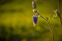 Green Field with Beautiful Purple Wild Flowers with Sunshine in Planina, Slovenia
