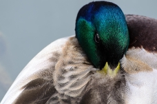 Close-up of a Male Duck