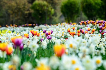 Colorful Tulips within White Blooms