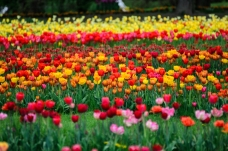Rows of Lovely Tulips