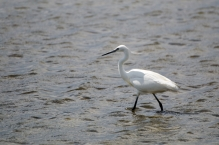 Little Egret in the Salt Field