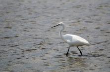 Little Egret in the Salt Field