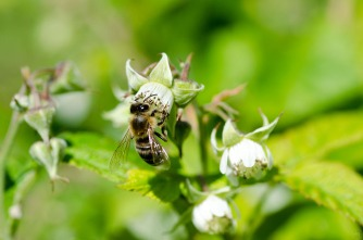 Busy Honey Bee on Raspberry Bloom
