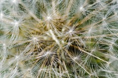 Close-Up Dandelion Seed Head