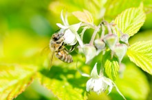Honey Bee on Raspberry Bloom