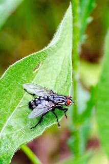 Red-Eye Fly on Leaf