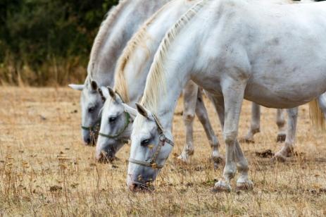 Three Noble Horses