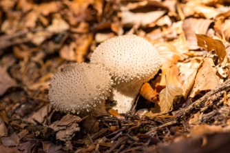 Pair of Round and Spiky Mushrooms in Autumn